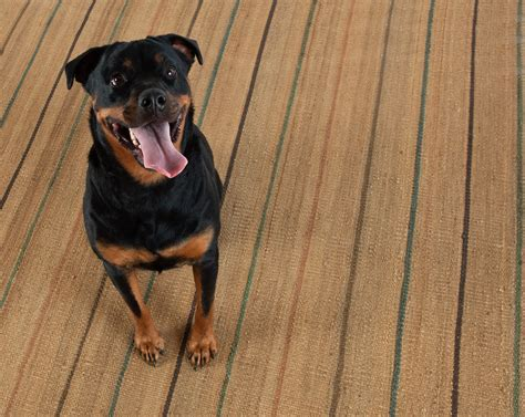 Pet Urine Resistant Carpet by How To Pick The Perfect Pet Friendly Rug