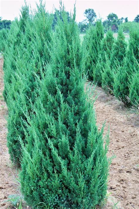 blue juniper juniper gammon s garden center landscape nursery