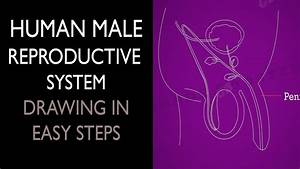 How To Draw  Male Reproductive System In Easy Steps   10th