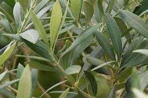 Olivenbaum Im Topf : olivenbaum richtig pflanzen tipps f r garten und topf ~ Michelbontemps.com Haus und Dekorationen