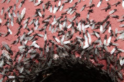 flying ant day insect apocalypse