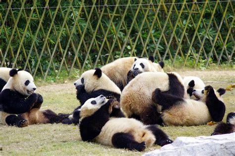 pandas panda many together dreamstime called royalty mammal china preview bear giant