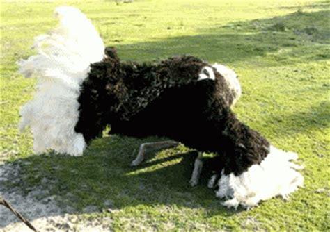 gifs animados de avestruz gifmania