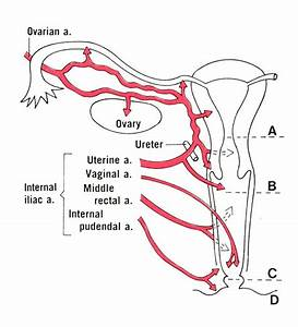 Image Gallery ovarian artery origin