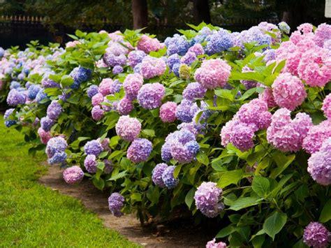hydrangea bushes pruning hydrangeas diy