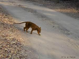 Thylacine Sighting Photomanip. by Kiwano0 on DeviantArt