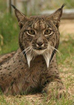 felinae wikispecies