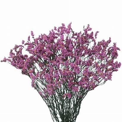 Limonium Purple Flowers Lavender Yellow Peach Globalrose