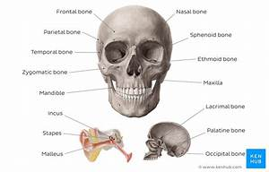 Learn Skull Anatomy With Skull Bone Quizzes And Diagrams