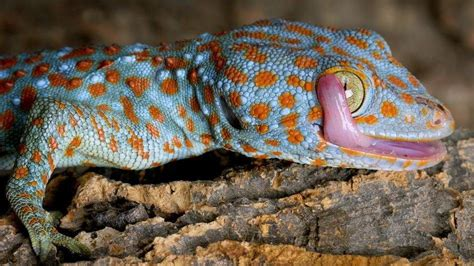 Tokay gecko for sale baby tokay geckos for sale online