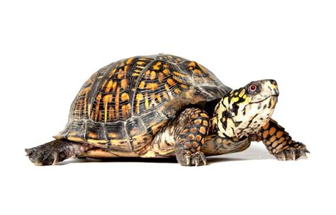 Images Transparent Background by Turtle Png Transparent Images Transparent