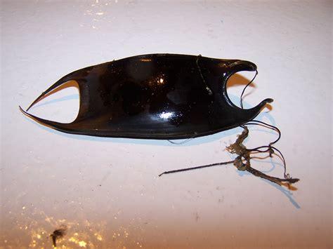 purse mermaid egg skate case ray sea mermaids spider noaa teacher teacheratsea