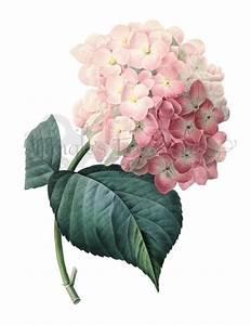Vintage French Pink Hydrangea Printable Digital Image: