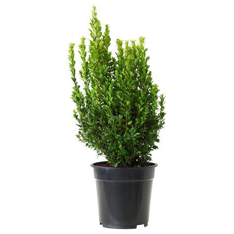en pot exterieur charming arbuste en pot exterieur 1 bambou en pot u2013 brise vue naturel et d 233 co sur la