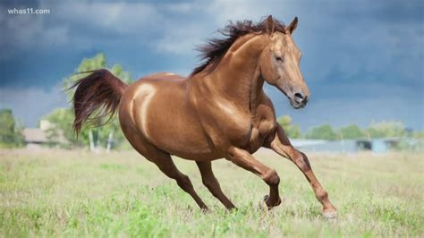 horse horses field chestnut golden don running runs legs broken euthanized whas geht unsere neue website whas11