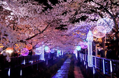 cherry blossom trip  backpacker korea
