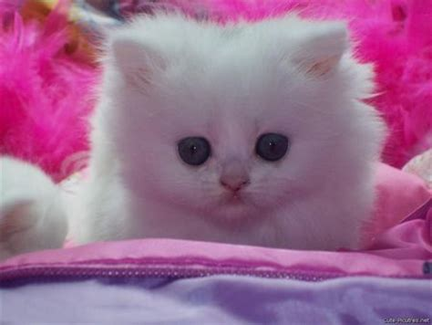 cute white kitten  likes  color pink cats