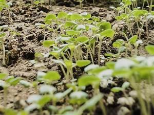 Quand Planter Courgette : semer et planter du basilic quand et comment faire ses ~ Dallasstarsshop.com Idées de Décoration