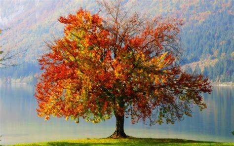 fall trees autumn tree wallpaper wallpapersafari