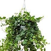 Hängepflanzen Zimmer Kaufen by Zimmerpflanzen Kaufen 123zimmerpflanzen