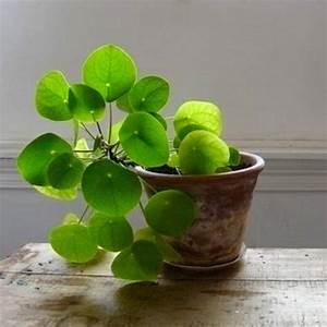 Grünpflanzen Für Innen : pannenkoekplant plants plants plants pinterest ~ Eleganceandgraceweddings.com Haus und Dekorationen