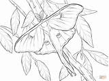 Moth Luna Coloring Realistic Pages Printable Atlas Drawing Drawings Line Butterflies Dot Colour sketch template
