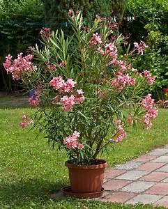 Laurier Rose Entretien : laurier rose rose willemse ~ Melissatoandfro.com Idées de Décoration