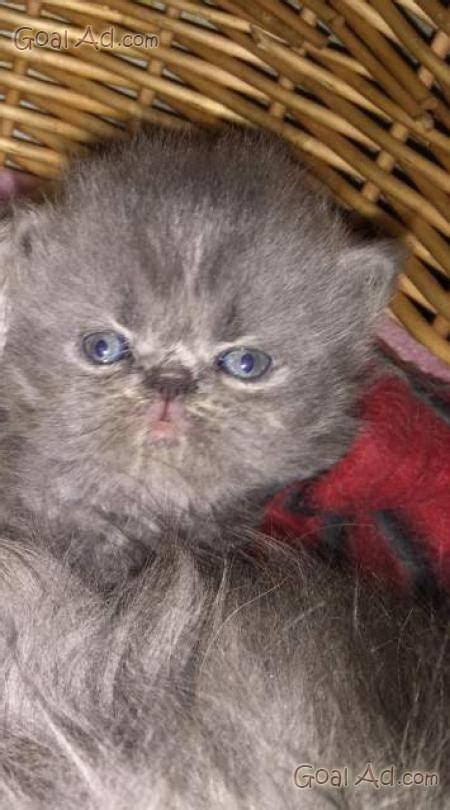 Vendo Gatti Persiani by Gattini Persiani Sono Appena Nati Interessato Cerca