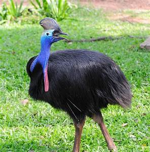 Here's All There is to Know on Cassowary: The Unique 'Big ...