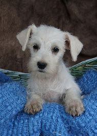 White Miniature Schnauzer Puppies Sale