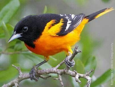 baltimore oriole maryland state bird tattoo ideas
