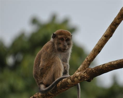 long tailed macaque facts diet habitat pictures