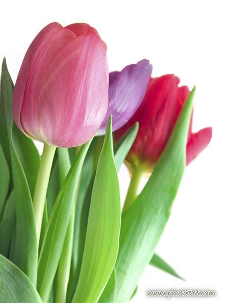 Tulip Flower Image by Index Of Image Flower Tulip Large