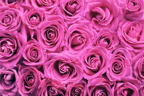 Pink Roses Background Roses Background Pink Free Stock Photo Domain