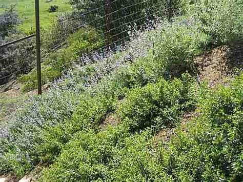 what to plant on a hillside to erosion drought tolerant plants for a santa barbara and goleta area garden