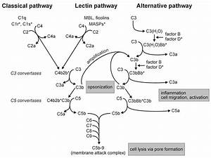 Complement Pathways  Types  Functions And Regulation