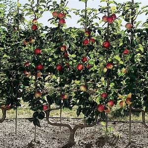 Apple Trees Growing Guide Suttons Gardening Grow How