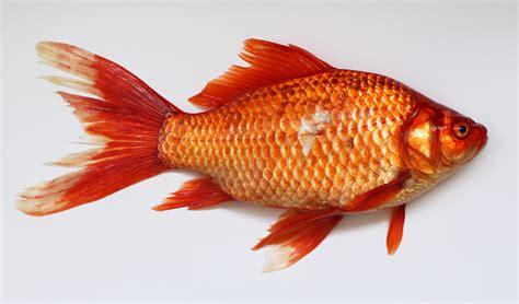 Filecarassius Wild Golden Fish 2013 G1jpg Wikimedia