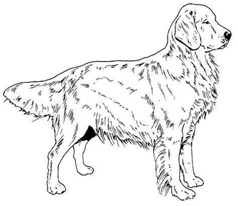 golden retriever dog coloring page  printable