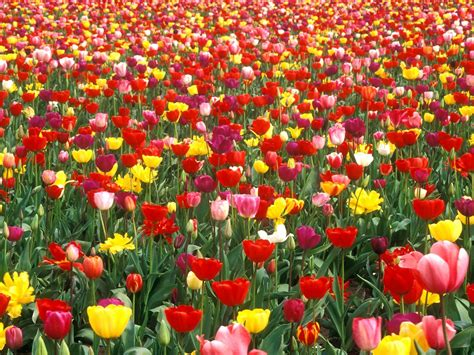 tulip gardening free hq colorful tulip garden wallpaper free hq wallpapers