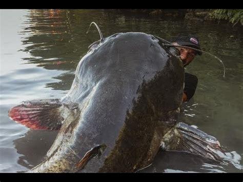 catfishes  chennai latest price mandi rates