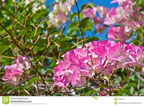 bush with bright pink flowers bright pink bougainvillea flowers stock image image 31552911
