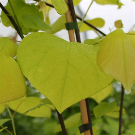 golden redbud tree cercis canadensis hearts of gold buy eastern redbud trees