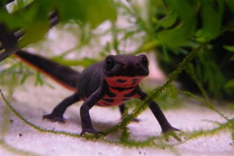 belly newt cynops sp fire bellied newt sp newts