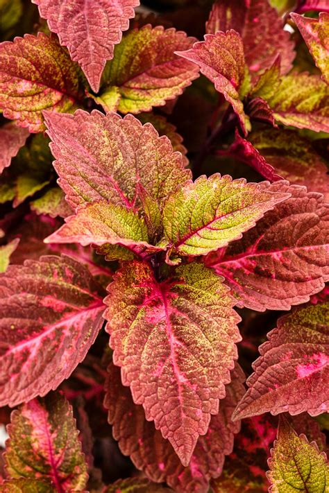 plants coleus coleus basics hgtv