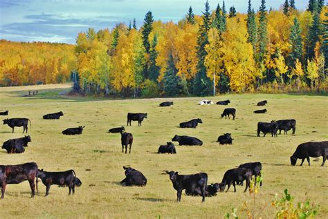File:Cattle in pasture, Alaska.jpg - Wikimedia Commons