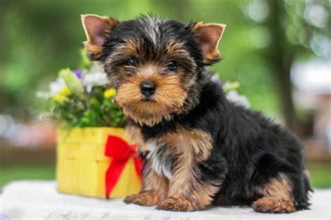 yorkshire terrier charakter haltung pflege hund