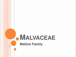 Malvaceae