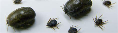 ticks  disease ufifas extension