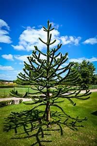 Buy Monkey Puzzle Tree Online